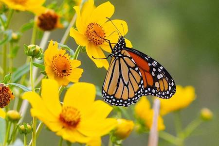 Photo credit: Southwest Monarch Study
