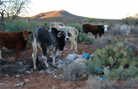 Cattle Feeding on Illegal Dump