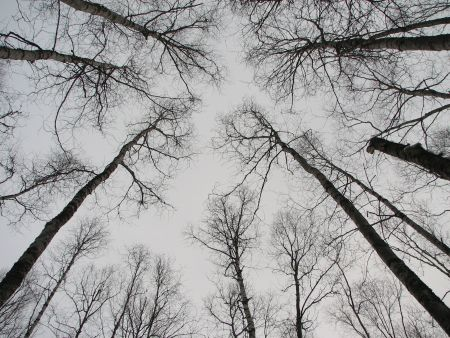 Tall Bare Trees