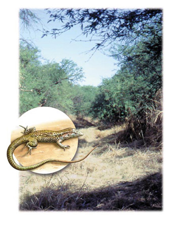 Whiptail lizard and habitat